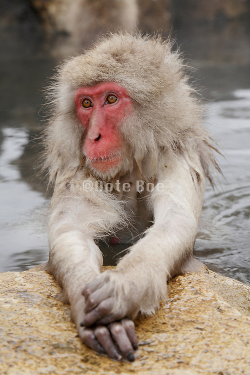 Snow Monkey in Jigokudani Monkey Park Nagano Prefecture Japan