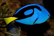 Palette Surgeonfish, Paracanthurus hepatus.