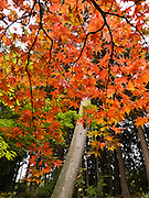 The Bloedel Reserve was near its peak of fall colors on October 19, 2005. The Bloedel Reserve is a 150-acre forest garden on Bainbridge Island, Washington, made by the vice-chairman of a lumber company, under the influence of the conservation movement and oriental philosophy. The Bloedel Reserve has both natural and highly-landscaped lakes, immaculate lawns, woods, a traditional Japanese garden, a rock and sand Zen garden, a moss garden, a rhododendron glade, and a Reflection Garden. The Bloedel's French Chateau-style home is preserved as a Visitor Center, including many original furnishings. Reservations are required; visit www.bloedelreserve.org for more information.