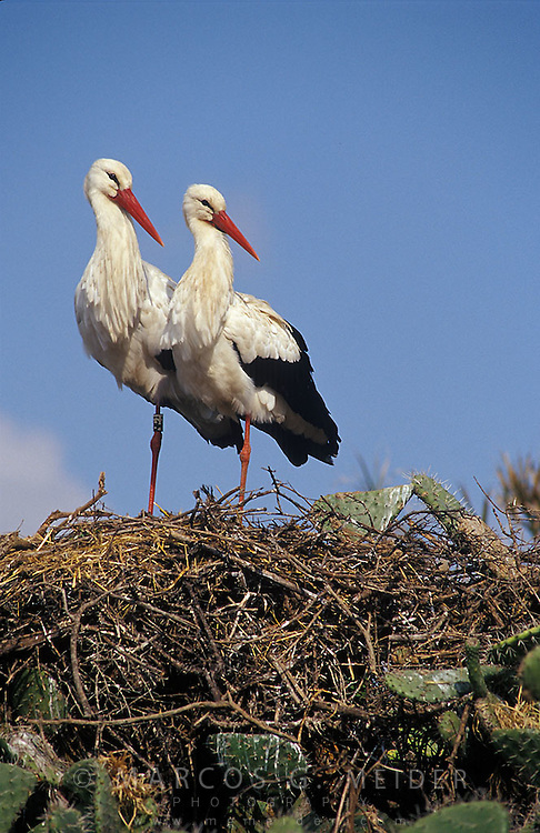 White Storks (Ciconia ciconia) pair resting on their nest. Andalucia, Spain.