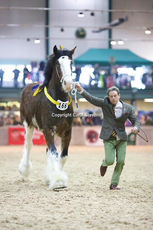 Mr C Paulsson's LEVERTON LEONA  (No.166)<br /> Sire  Moorfield Edward<br /> Dam  Decoy Lady in White<br /> 2nd Fillies 3 years old