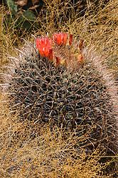 fishhook barrelcactus Ferocactus wislizeni