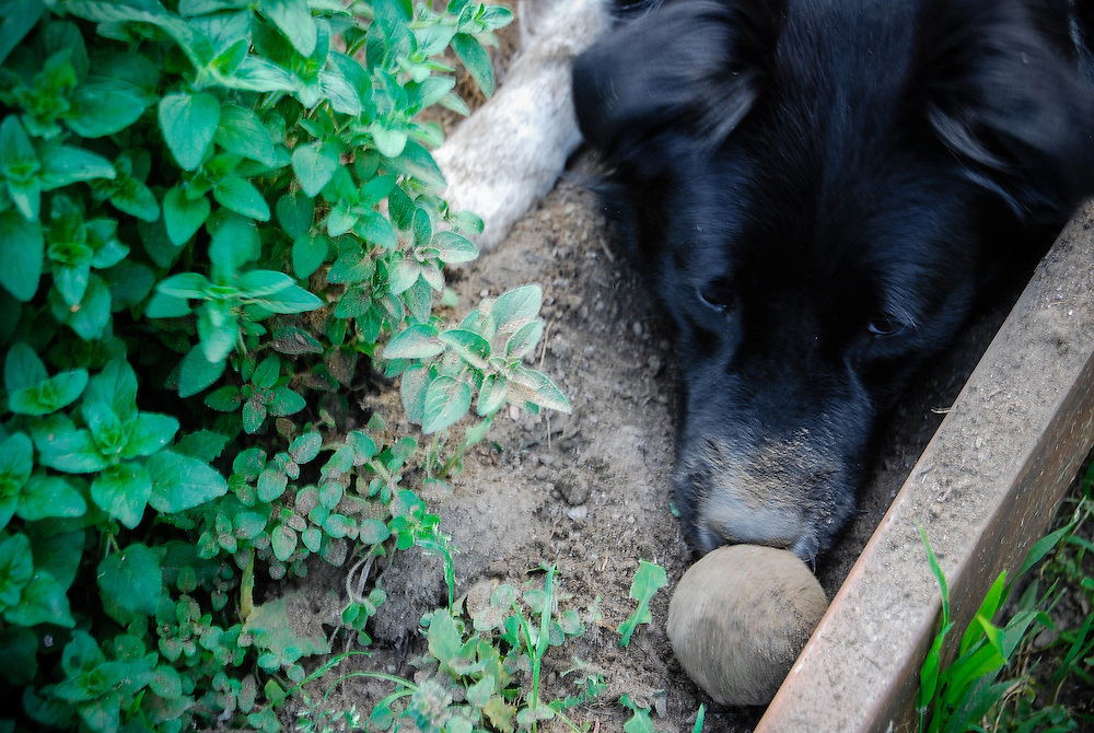 Sally Dog, the border collie mix with her nose in the dirt.