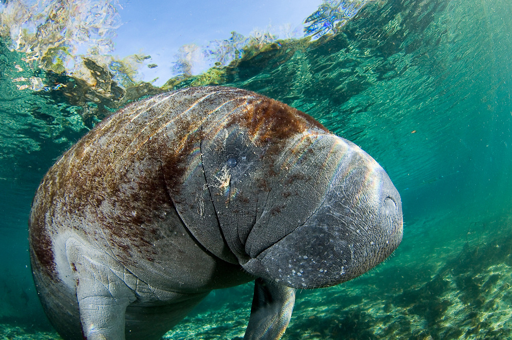 Florida Manatee (Trichechus manatus latirostris) photographed in Crystal River, FL. The manatee or sea cow is listed by the World Conservation Union as vulnerable to extinction due to habitat destruction, illegal hunting and collisions with boats. In Florida, experts believe there are only 2,000 to 3,000 left in the wild.