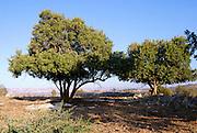 Israel, Lachish region, old carob trees