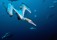 Gannets dive into the sea to 10 or more metres to feed on sardine