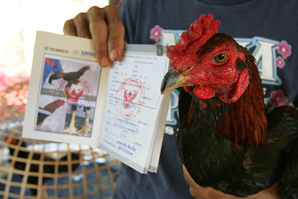 The owner of a fighting cock shows off his bird and its passport in Chainat, Thailand on the 15th Dec 2006. The passport contains the birds photograph and a certificate proving it has been tested for Avian Flu.<br /> Whilst Avian Flu has been largely forgotten by the rest of the world in Thailand and Indonesia it is still an important issue. Thailand has strict control measures such as disinfection at all poultry farming sites, passports for fighting cocks and regular testing and has as a result got AI under control. Indonesia has little control and AI is frequent, programmes put in place by the Food and Agriculture Organisation is working on the problem. Surveillance and response units go out into the communities testing birds and destroying those that display symptoms.