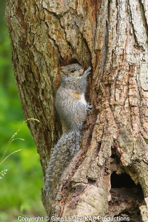 Eastern Gray Squirrel.Sciurus carolinensis.at tree feeding on sap.Fort Ticonderoga,.Essex Co., New York.16 June 2010