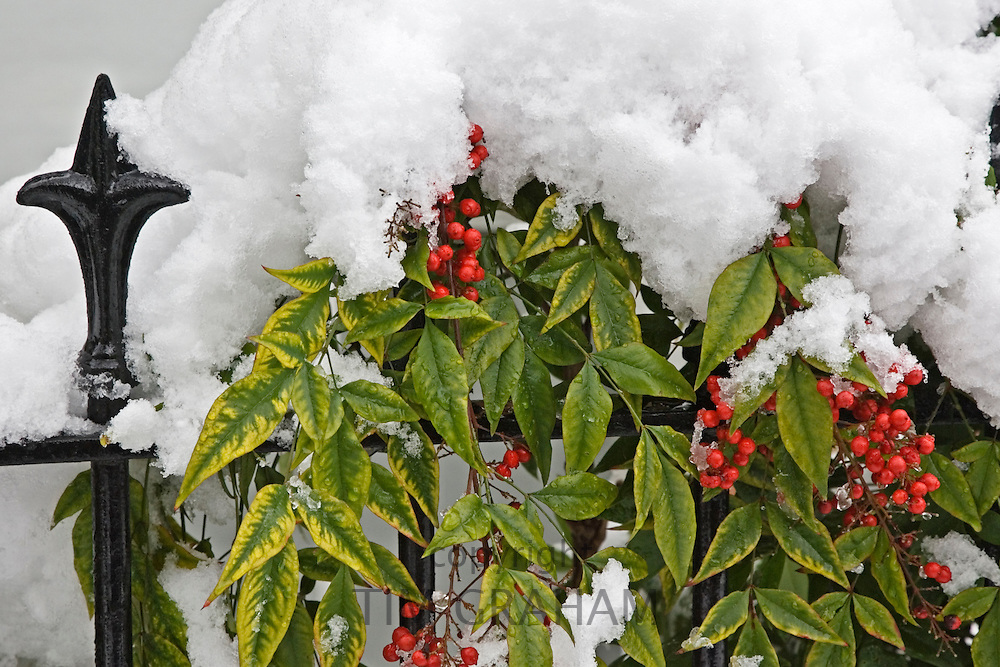 Snow covered evergreen with red berries on Hampstead railing, North London, United Kingdom