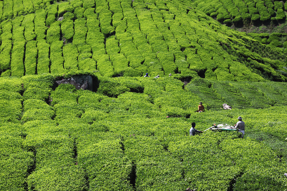 Harvesting tea with machinery at Boh tea plantation.
