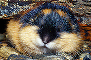 The Norway lemming (also Norwegian lemming), Lemmus lemmus, is a common species of lemming found in northern Scandinavia and adjacent areas of Russia. It is the only vertebrate species endemic to the region. The Norway lemming dwells in tundra and fells, and prefers to live near water. Adults feed primarily on sedges, grasses and moss. They are active at both day and night, alternating naps with periods of activity. | Der Berglemming (Lemmus lemmus) ist eine Art der Echten Lemminge (Lemmus), die in subarktischen und arktischen Gebieten Skandinaviens und der Kolahalbinsel lebt.