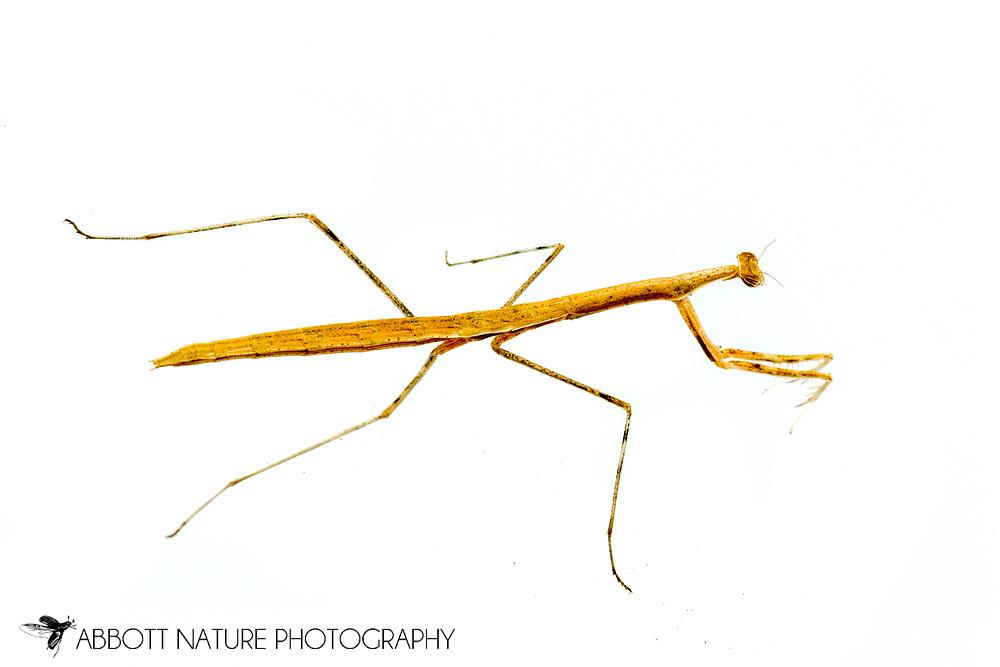 Mantis (Oligonicella scudderi) nymph<br /> Captive reared individual<br /> 17-Jun-2017<br /> J.C. Abbott &amp; K.K. Abbott