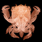 X-ray of a Deep Water Crab