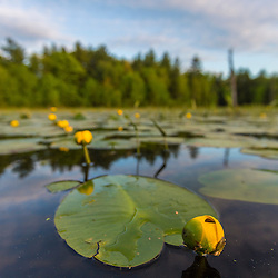 Yellow pond lillies, Nuphar lutea, fill a beaver pond in Epping, New Hampshire.