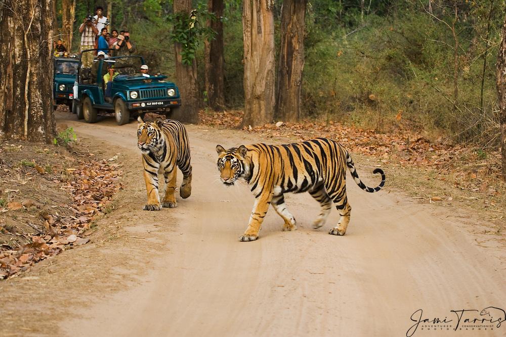 Tourists in national park photographing a pair of tigers (Panthera tigris tigris) walking down a road, Bandhavgarh National Park,Madhya Pradesh,India