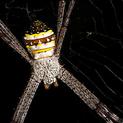 Multi-Coloured St Andrew's Cross Spider.Argiope versicolor (Doleschall) 1859