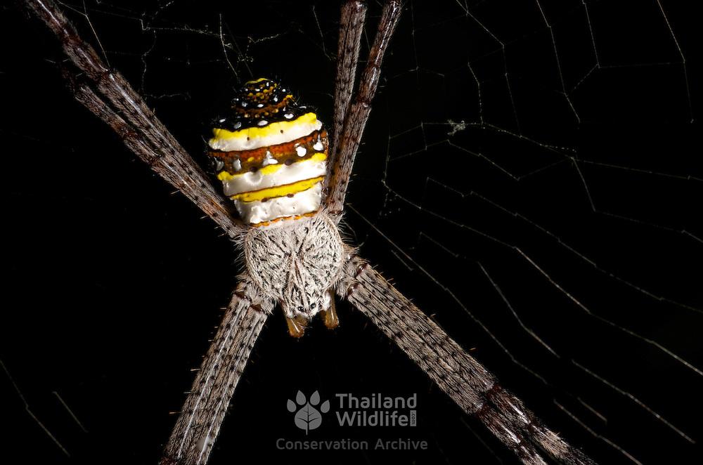 Multi-Coloured St Andrew's Cross Spider.Argiope versicolor (Doleschall) 1859