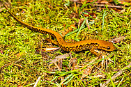 Eastern Long-tailed Salamander (Eurycea longicauda longicauda)<br /> United States: Alabama: DeKalb Co.<br /> Big Wills Creek off Hwy 117<br /> Valley Head<br /> 13-May-2017<br /> J.C. Abbott #2946 &amp; K.K. Abbott