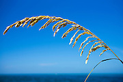 Coastal Sea Oats, Uniola paniculata,  plant growing on Captiva Island in Florida, USA