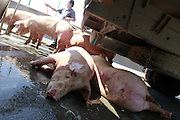FUZHOU, CHINA - AUGUST 05: (CHINA OUT) <br /> <br /> A van carrying 12 pigs turns over on major Road<br /> <br /> A man sprays down pigs with a hose on the third ring road on August 5, 2013 on Fuzhou, Fujian Province of China. A van carrying 12 pigs turned over on the third ring road on Monday. A pig died of heatstroke as the temperature reached 40 degrees Celsius.<br /> ©Exclusivepix