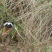 Long-tail weasel (Mustela frenata)