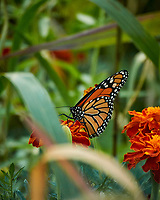 Monarch butterfly feeding on a Marigold flower. Image taken with a Nikon N1V3 camera and 70-300 mm VR lens