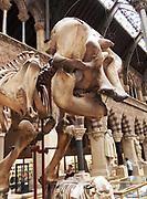 Elephas mazimus, The Asian Elephant