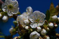 Cherry blossoms burst forth on a brilliant Spring day.