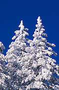 Rime ice and fresh powder on pines under blue sky, Los Padres National Forest, California