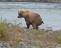 Does a bear shit in the woods ?..shot on the Kanektok River, Alaska, USA..