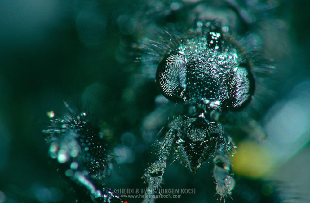 DEU, Deutschland: Porträt von einer Märzfliege, St.-Markus-Haarmücke (Bibio marci), Weibchen, Nahaufnahme | DEU, Germany: St.Marks fly (Bibio marci), female, insect portrait, close-up |