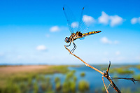 Marl Pennant Dragonfly, Macrodiplax balteata <br />