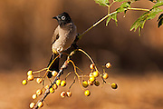 Pycnonotus xanthopygos, Yellow-vented Bulbul AKA White-Spectacled Bulbul, perched on a branch Photographed in Ein Afek Nature Reserve, Israel in October