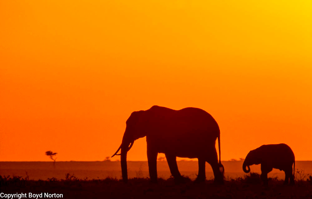 Elephants at dawn, Serengeti National Park, Tanzania