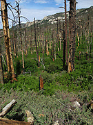 New growth of pines, ferns and other plants emerges from the forest floor following the Aspen Fire, Mint Spring Trail, Sonoran Desert, Coronado National Forest, Santa Catalina Mountains, Mout Lemmon, Arizona, USA.