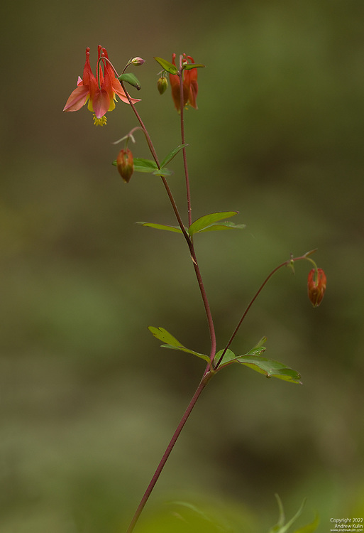 Wild Columbine in Spring bloom on the steep slopes of the Rouge River Valley...4-shot stitched image (PTGUI-Pro) - 4160x6080 pixels original size