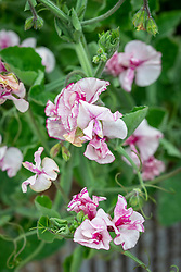 Lathyrus odoratus 'Balcony Purple' - sweet pea - in a container