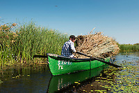 Romanian farmer harvesting reed beds, Phragmites communis, Danube delta rewilding area, Romania.