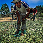 The steep fall in the price of products such as coffee or cocoa on the international market for raw materials, is forcing millions of peasants to abandon traditional crops in favour of drugs, witch are much more lucrative. Chapare, Bolivia.
