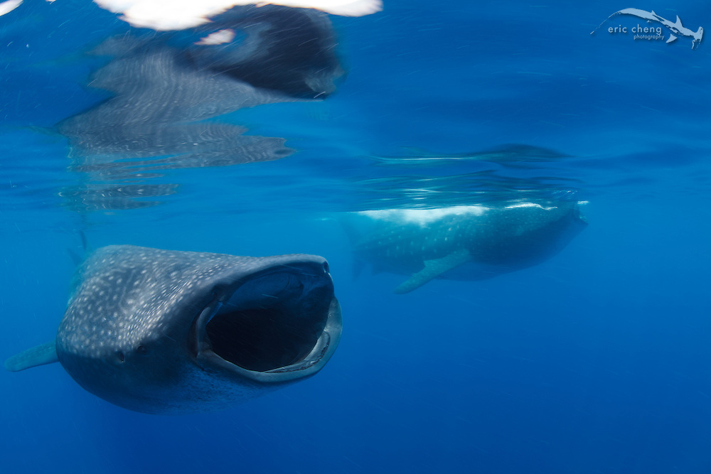 Two whale sharks (Rhincodon typus) feeding in a bonito spawning event off of Isla Mujeres, Mexico.