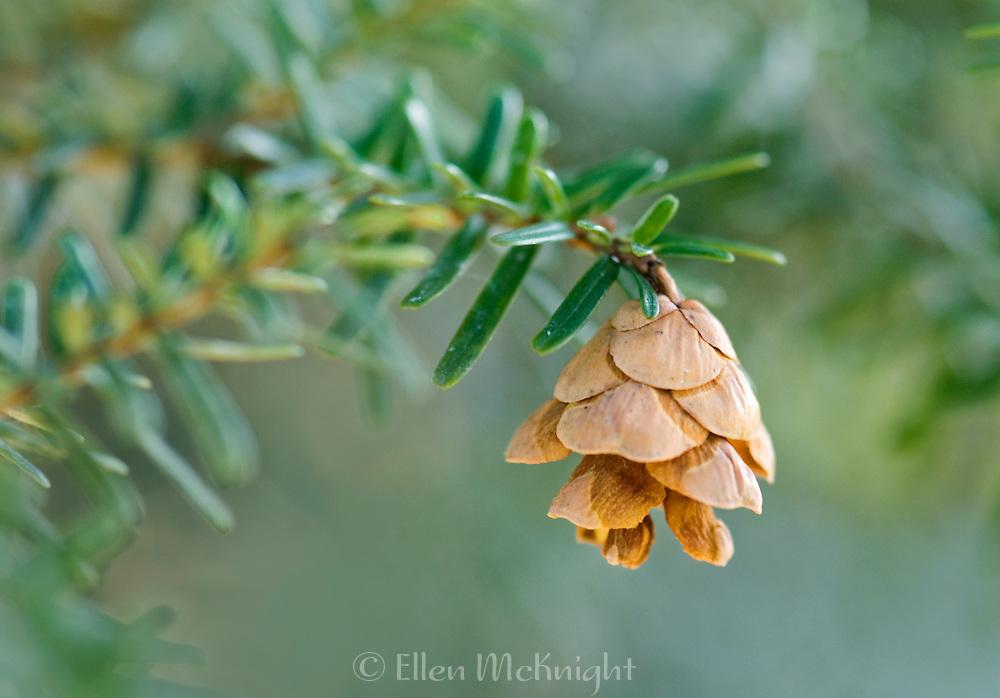 Pine Cone from Japanese Hemlock Tree (Tsuga sieboldii)