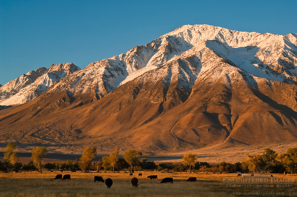 Cattle graze in field below Mount Tom in the Round Valley, Eastern Sierra, California