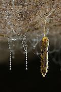 Fungus gnats (Arachnocampa luminosa) pupa close before it is going to hatch. Hanging down from the roof of the cave on a silken threat. Glowworm cave near Waitomo Cave, New Zealand. Close to Te Kuiti. The  larvae of the fungus gnats of the species Arachnocampa luminosa are bioluminescent and feed on the light-attracted insects that get entagled in their sticky silk threads. | Nachdem die Pilzm&uuml;ckenlarve der Art Arachnocampa luminosa etwa 6 bis 12 Monate als sogenannter &quot;Glowworm&quot; von angelockten Insekten gelebt hat, verwandelt sie sich w&auml;hrend des 1 bis 2 Wochen dauernden Puppenstadiums in das flugf&auml;hige Insekt. Zur Verpuppung h&auml;ngt sich die Made mit einem selbstgesponnenen Faden an die H&ouml;hlendecke, umgeben von ihren Faden-Konstruktionen aus Larvenzeiten. Die F&auml;higkeit, auch im Puppenstadium zu leuchten, ist eine seltene Besonderheit einiger weniger Pilzm&uuml;ckenarten. Wissenschaftler vermuten, dass durch das st&auml;rkere Leuchten der weiblichen Puppen paarungsbereite M&auml;nnchen angelockt werden, so dass unmittelbar nach dem Schl&uuml;pfen des Weibchens die Paarung mit dem durchsetzungsst&auml;rksten M&auml;nnchen stattfinden kann.<br /> Arachnocampa luminosa ist eine von etwa 3000 Pilzm&uuml;ckenarten weltweit und lebt an feuchten, dunklen Stellen (H&ouml;hlen und &Uuml;berh&auml;nge) in Neuseeland. Die Waitomo Cave und H&ouml;helsysteme nahe der Ortschaft Te Kuiti sind bekannt f&uuml;r die leuchtenden Larven.