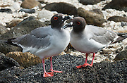 """A Swallow-tailed Gull pair(Creagrus furcatus, the only species in the genus Creagrus) thrives on Isla Genovesa (or Tower Island), Ecuador, South America. The Swallow-tailed Gull is an equatorial seabird in the gull family Laridae. Its scientific name is derived from the Latin Larus, """"gull"""" and furca """"two-tined fork"""". It spends most of its life flying and hunting over the open ocean. The main breeding location is the cliffs of the larger Galápagos Islands, with lower numbers on most of the smaller islands. It is more common on the eastern islands where the water is warmer. It is the only fully nocturnal gull and seabird in the world, preying on squid and small fish which rise to the surface at night to feed on plankton. Isla Genovesa (or Tower Island) is a shield volcano in the Galápagos Islands, in the eastern Pacific Ocean. This island is known as Bird Island, because of the large and varied bird colonies which nest here. Prince Philip's Steps is a steep path up a 25 meter cliff to a seabird colony full of life amidst a thin palo santo forest and rocky plain."""