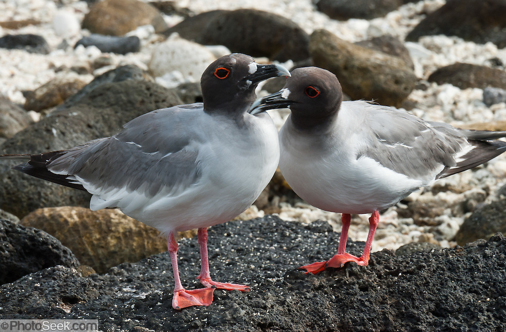 "A Swallow-tailed Gull pair(Creagrus furcatus, the only species in the genus Creagrus) thrives on Isla Genovesa (or Tower Island), Ecuador, South America. The Swallow-tailed Gull is an equatorial seabird in the gull family Laridae. Its scientific name is derived from the Latin Larus, ""gull"" and furca ""two-tined fork"". It spends most of its life flying and hunting over the open ocean. The main breeding location is the cliffs of the larger Galápagos Islands, with lower numbers on most of the smaller islands. It is more common on the eastern islands where the water is warmer. It is the only fully nocturnal gull and seabird in the world, preying on squid and small fish which rise to the surface at night to feed on plankton. Isla Genovesa (or Tower Island) is a shield volcano in the Galápagos Islands, in the eastern Pacific Ocean. This island is known as Bird Island, because of the large and varied bird colonies which nest here. Prince Philip's Steps is a steep path up a 25 meter cliff to a seabird colony full of life amidst a thin palo santo forest and rocky plain."