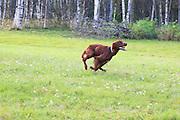 løpende hund, running dog