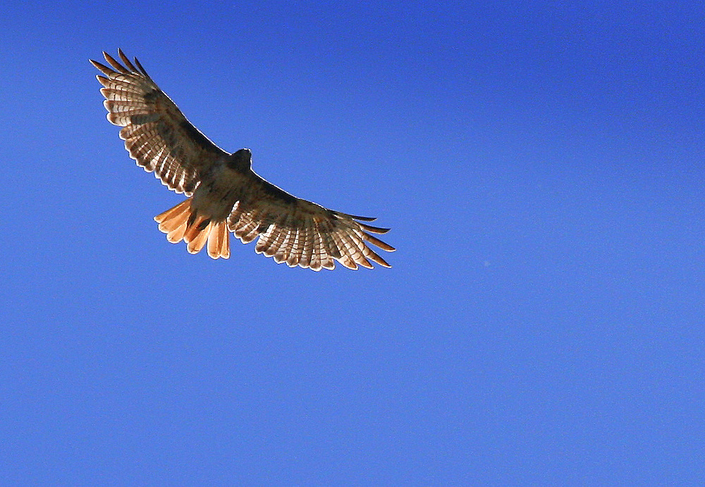 A raptor floats on a thermal updraft, and circles looking for prey far below.