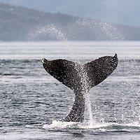 Humpback whale doing tail slaps in Icy Strait, off Glacier Bay, Alaska