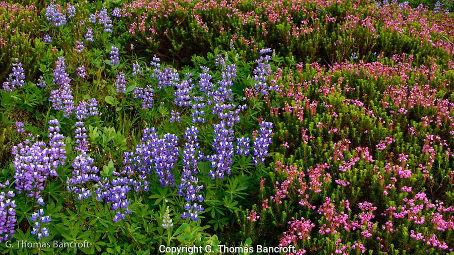 The meadow was a mosaic of lupines and heathers all in bloom.