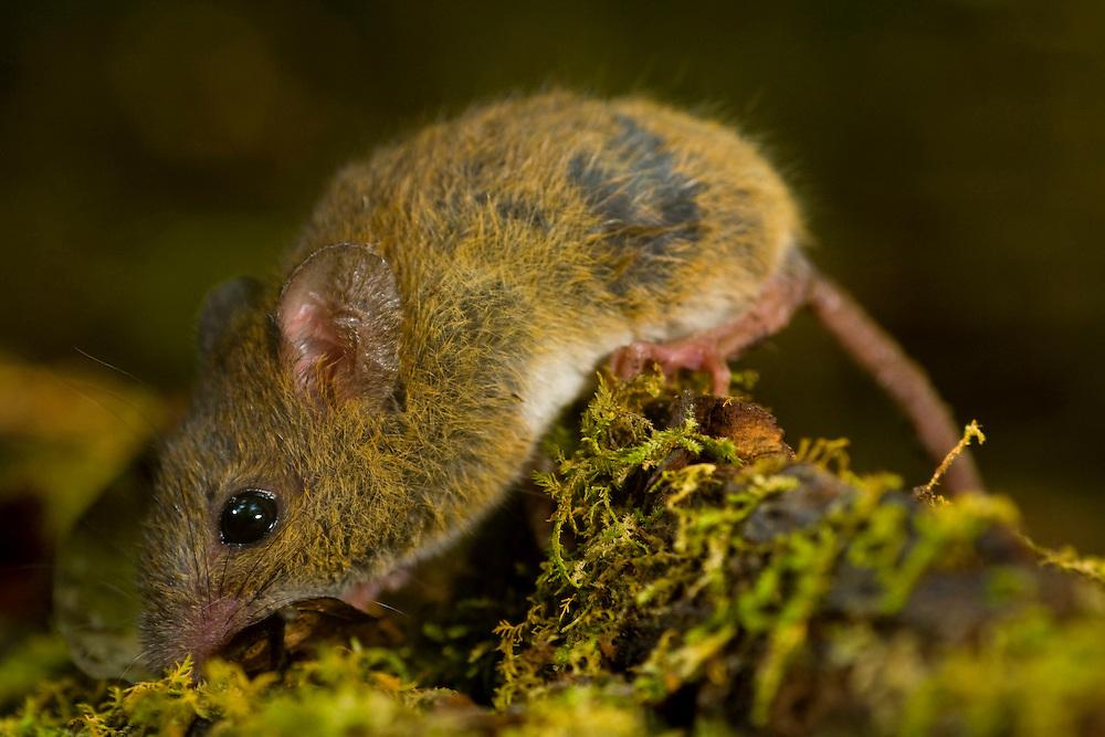 Sao Jose do Rio Preto_SP, Brasil...Programa Biota da Unesp, na foto um rato...The Biota program of Unesp, In this photo a mouse.. .Foto: JOAO MARCOS ROSA /  NITRO
